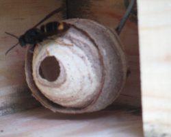 Avispero de avispa asiática en caja nido.