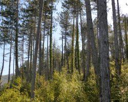 Bosque de pino laricio