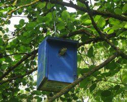 Caja nido con pollos de herrerillo común