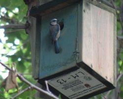 Caja nido ocupada por Herrerillo común 01