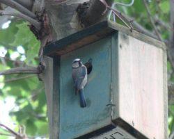 Caja nido ocupada por Herrerillo común
