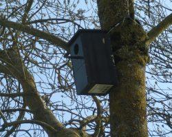 Caja de autillo europeo, colocada con alambre alrededor del tronco. las ramas que crecen por debajo del cable, ayudan a la estabilidad de la caja nido.