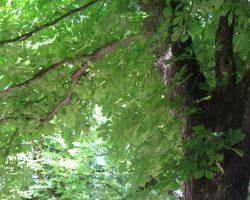 Caja nido y agujero natural en castaño de indias.
