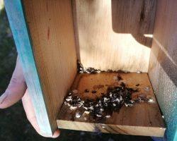 Excrementos en caja nido para páridos