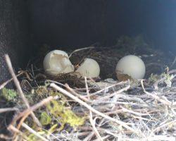 Huevos depredados de autillo europeo
