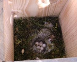 Nido de párido en caja-refugio de lirón gris
