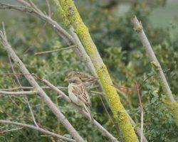 Taller de avistamiento de aves-Gorriones comunes