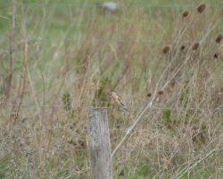 Taller de avistamiento de aves-Pardillo común
